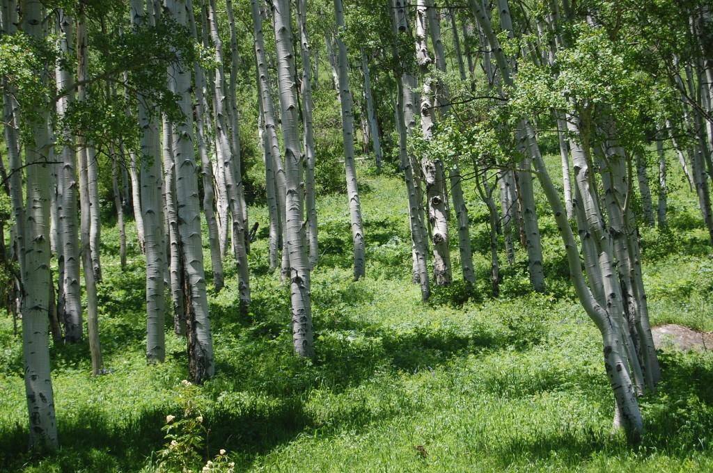 Осиновый лес в нижнем течении ручья Западный Сноумасс.