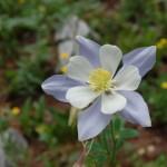 Цветок в долине Навахо - Aquilegia