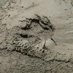 Свежий след медведя (предположительно) на берегу реки Токумм.