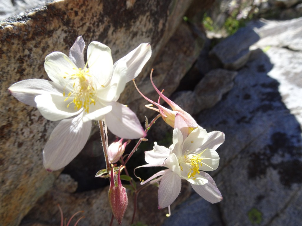 Sierra Columbine: it is the color of the cream and sunlight. Photo credit Oleg Shakhtmeyster.
